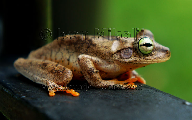 amazon tree frogs