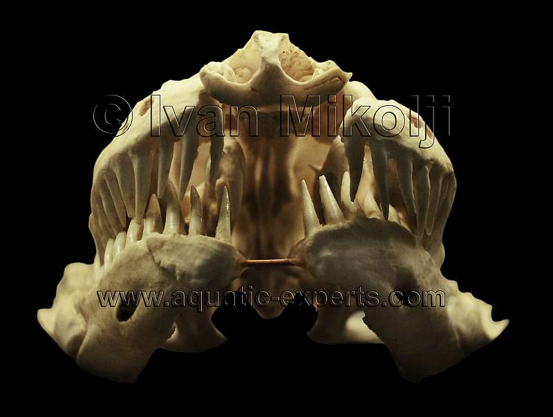 Eunectes murinus bones