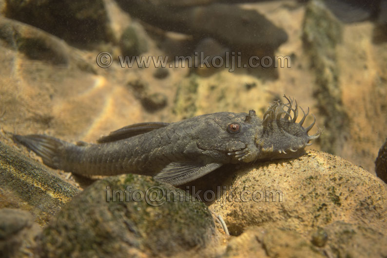 new, rare, animal, pleco, fish, Ancistrus, nationi, sucker, bushynose, bristlenose, catfish, corroncho, aquarium, stock, royalty free, aquarium hobby, ivan, mikolji, peces, agua, dulce, rios, silvestres, Venezuela, calendarios, libres de derecho, fotos publicitarias, venta de fotos, aquatic, background, beauty, blue, color, colorful, creature, decoration, decorative, dive, fin, fishtank, freshwater aquarium plants, gills, macro, orange, red, pet, stripe, swim, tank, tropical, underwater, water, white, yellow, wild, rare, amazon, wallpaper, background, macro, side-view, lateral, venezolanos, fotografos, atlas, species, especie, fishing, unidentified
