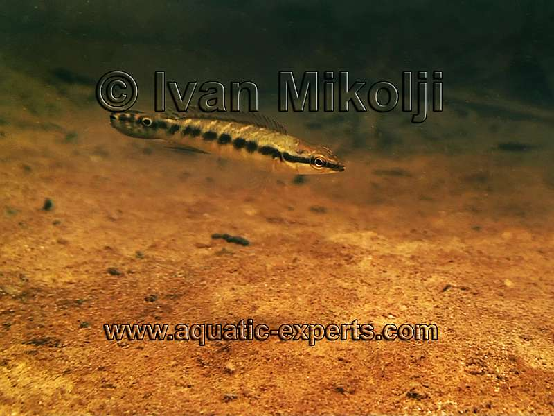 Halfbanded pike cichlids