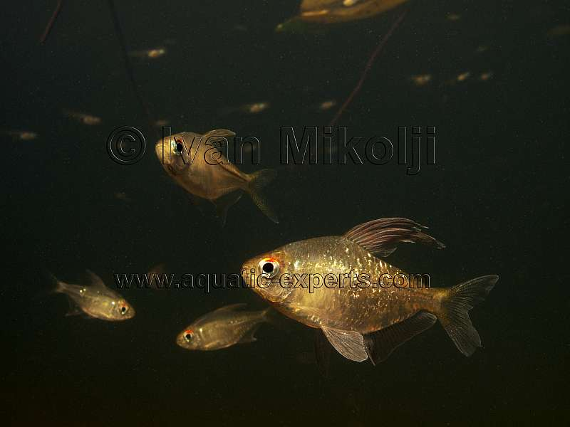 diamond tetra aquarium fish