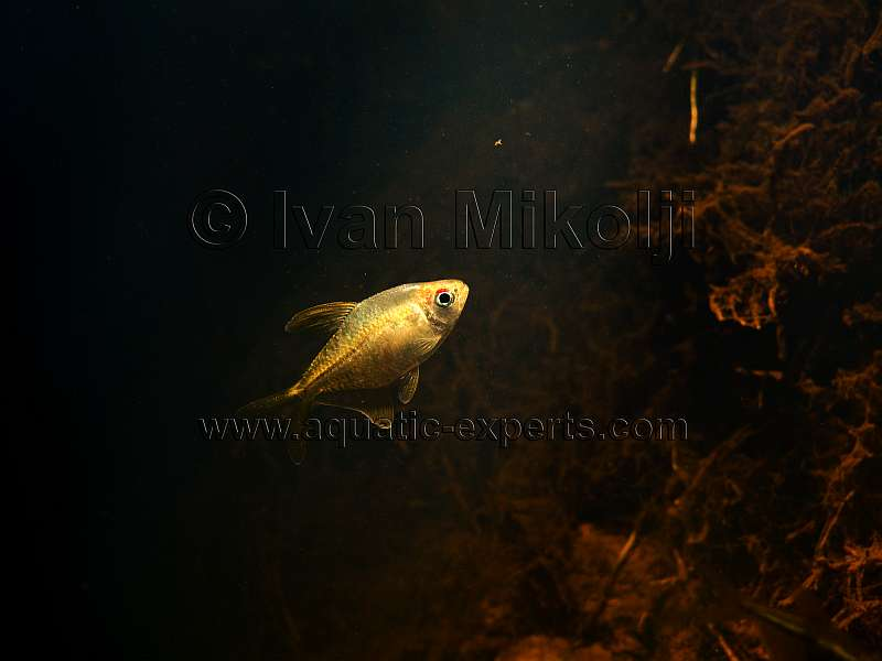diamond tetra in the wild