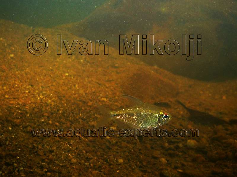 diamond tetra images