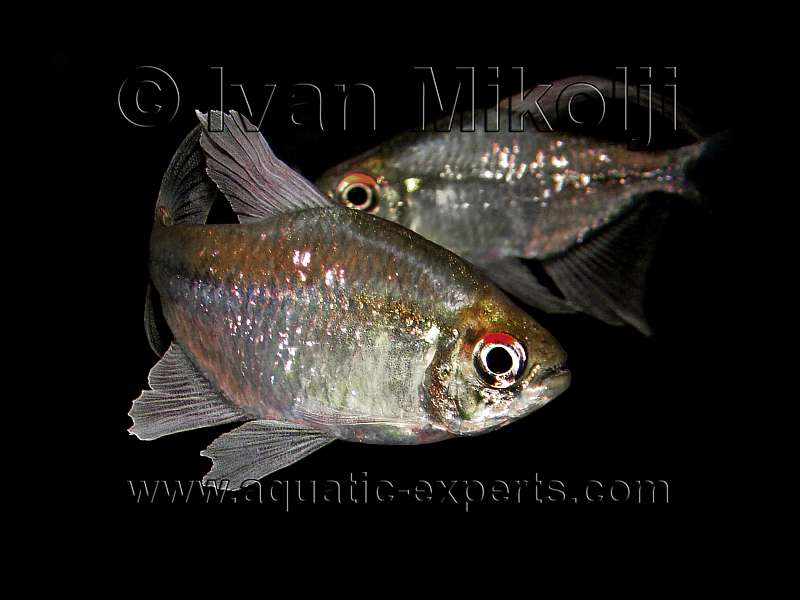Diamond Tetras