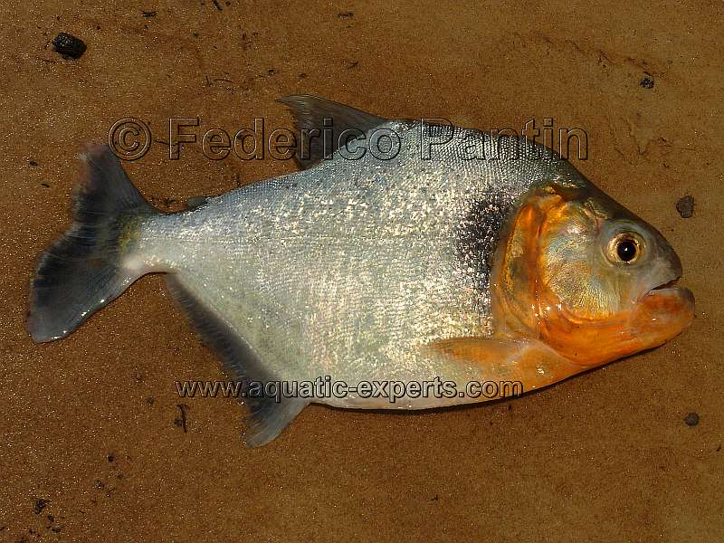 piranha species