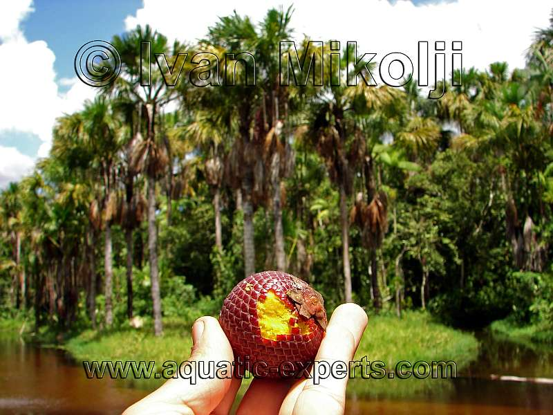 MORICHE PALM FRUIT