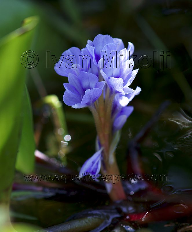 aquatic plants flowers