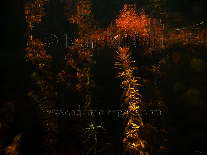 aquatic plants
