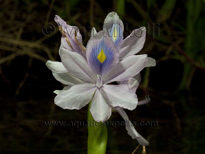 Floating Water Hyacinth