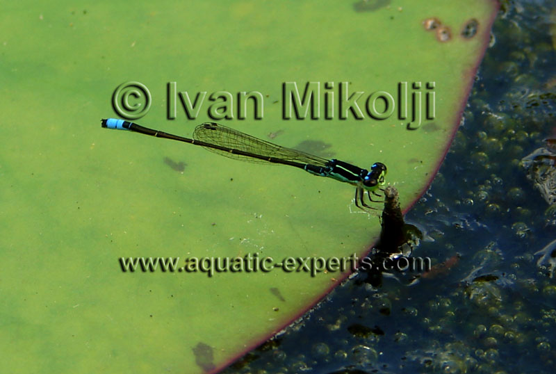 southamerican dragonflies