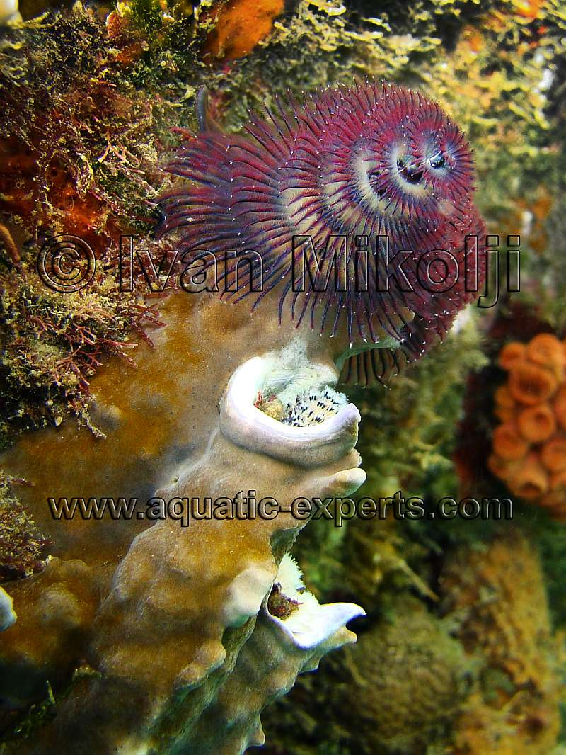 Christmas Tree Worm habitat