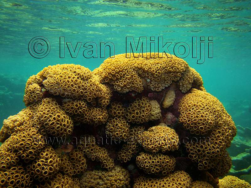 yellow soft coral