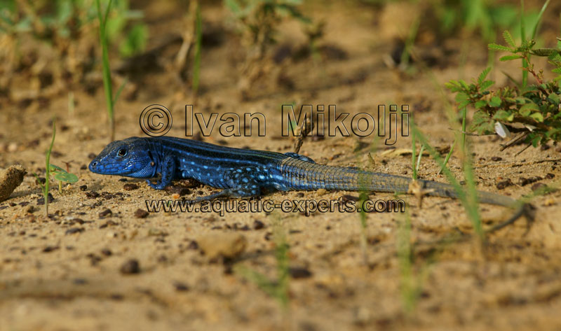 South American Whiptail lizard